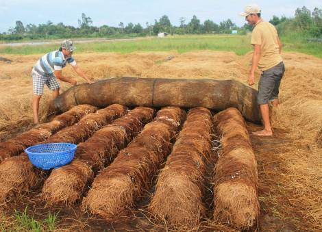 Giá nấm rơm tăng, nông dân đẩy mạnh sản xuất